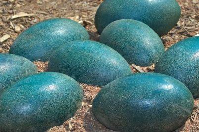 mavi-yumurta.jpg